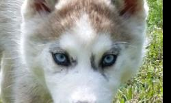 Stunning Siberian Husky Puppy Reduced