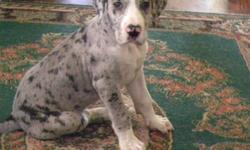 Succulent and brave student as young Great Dane for sale