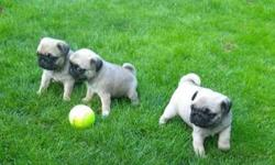 Supe Akc Pug Puppies