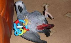 Suy Very Tame African Grey Parrots New Home