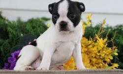 Sweet M/F Boston Terrier Puppies For Sale