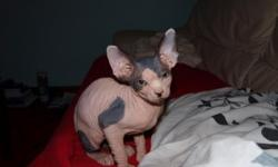 Sweet Male and Female Sphynx Kittens available