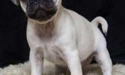 Sweet Pedigree Pug puppies for