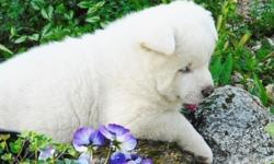 tadpw Akita Puppies for Sale