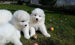 Tantalizing Champion Akc Working Lines Super Litter Samoyed