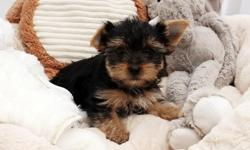 Teacup and Toy Yorkshire Terrier Puppies Available