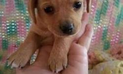 Teacup Doxie Mix Puppies