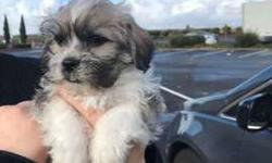 Teacup Maltese/shih tzu puppy