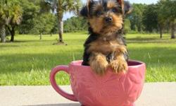 Teacup Micro Lovely Male and Female Yorkie Puppies