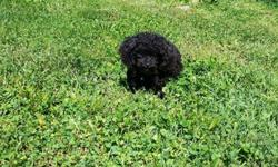 TEACUP size TOY POODLE Adult! only 3 lbs