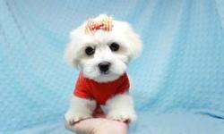 Teacup & Toy Maltese Puppies In Las Vegas