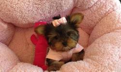 teacup yorkie puppies-baby doll faces