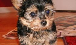 ***Teacup Yorkshire Terrier Puppies For Sale**