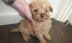 ter Male-female Poodle now Ready