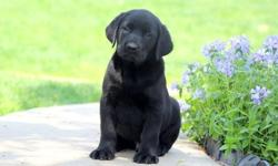 tet Labrador Retriever puppies available