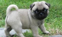 thffgrsf matine Pug Puppies Available