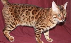TICA Registered Adult Bengals Available