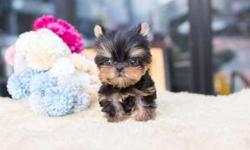 Tidy TEACUP Yorkshire Terrier Puppies