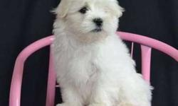 Timous4-Maltese puppies For Sale