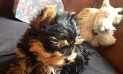 tiny Gold Black Yorkshire Terrier Puppies