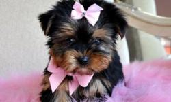 Tiny Teacup Gorgeous Yorkie Pup Available