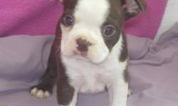 TIU Boston Terrier puppies for re-homing