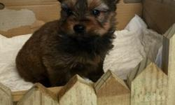 Toy bubbly, playful, Yorkie