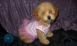 Toy Poodle Female