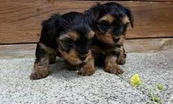 Toy tinny 10 weeks teacup Yorkie(for sale)