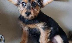 Toy Yorkie Puppy! black and gold female. microchipped