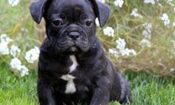 tplayful French Bulldog puppies