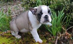 TPV Trained French Bulldog Puppies
