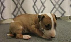 Tqueed m/f bull terrier puppies for sale