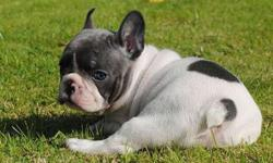 Trai Trained French Bulldog Puppies
