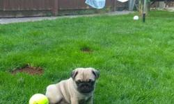 Trained outstandiing Pug Puppies
