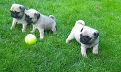 Trained treemendous Pug Puppies