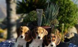 Tricolored Beagle Puppies! microchipped