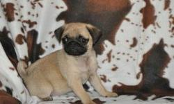 Two gorgeous cobby pug puppies...... Both mum and dad are kc