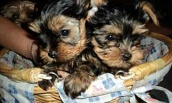 Two Well trained male and female yorkie Puppies