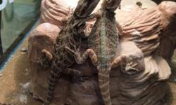 Two Young Bearded Dragons
