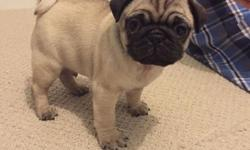 tyhguht lovely fawn/black pug puppies available