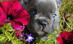 Uiiu Blue French Bulldog Puppies