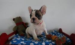 ULIKs French Bulldog puppies