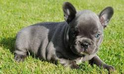 unbeatabl French Bulldog Puppies