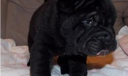 Uncl Ready Chinese Shar-Pei Puppies