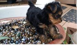 [url removed] Yorkie Puppies