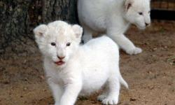 uyiyiyyfdsssuy Cheetah Cubs, Cougar Cubs, Lion Cubs and
