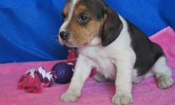 vbcv Beagle Puppies very much available now for new home