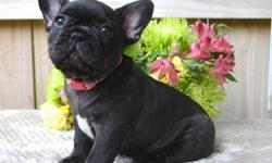vbhjdf French Bulldog puppies