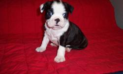 Vlk Boston Terrier puppies for re-homing